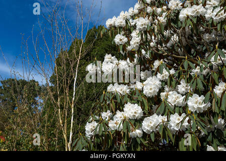 Clear white large leaved Rhododendron in spring sunshine. - Stock Photo