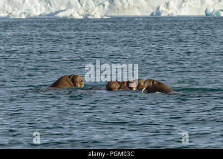 Group of walruses swimming in sea in front of Bråsvellbreen, Austfonna, Nordaustlandet, Svalbard Archipelago, Norway - Stock Photo