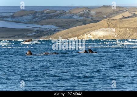 Group of walruses swimming in sea, Nordaustlandet, Svalbard, Norway - Stock Photo