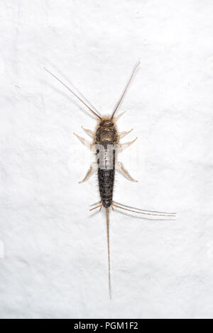 Gray silverfish on a white wall in a house - Stock Photo