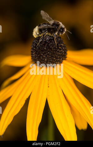 Bumble bee gathering honey from a flower - Stock Photo