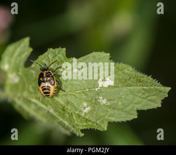 Newly hatched brown marmorated shield bug on a green leaf - Stock Photo