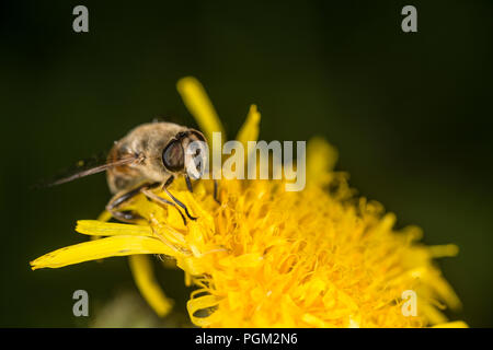 Honey bee gathering honey from a yellow flower - Stock Photo
