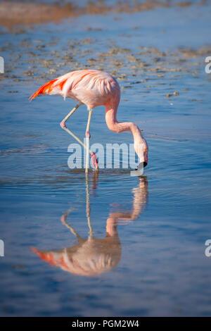 Close up of a Chilean flamingo in Laguna Chaxa, Atacama salar, Chile - Stock Photo
