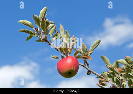 apple on a tree, Altes Land (old country), Lower Saxony, Germany - Stock Photo