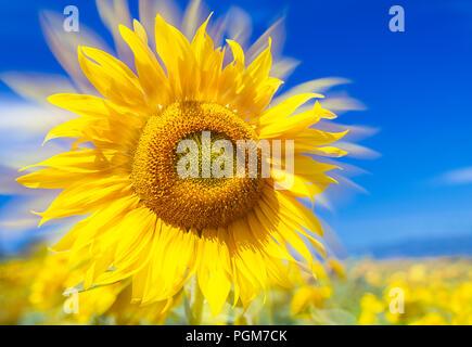 beauty sunflower II - Stock Photo