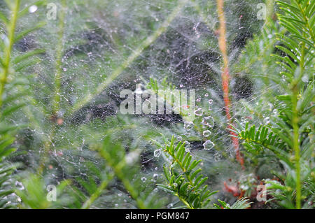 close-up of water drops in gossamer after rain at twigs of a yew hedge - Stock Photo