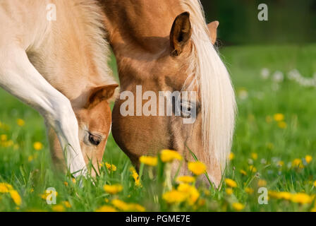 Haflinger horses, mare and foal grazing together in a green grass meadow with dandelion flowers, close up of their heads - Stock Photo