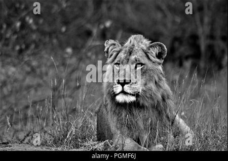 Majestic juvenile Lion in black 'n White - Stock Photo