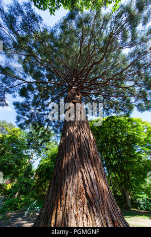 A fisheye view of a giant sequoia growing in Bodnant Gardens, North Wales - Stock Photo