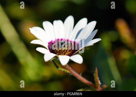Rain daisy, Postberg Nature Reserve - Stock Photo