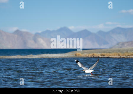 A Brown-headed Gull (Chroicocephalus brunnicephalus) takes flight in Pangong Tso, a high-altitude saline lake in the Himalayas of Ladakh in India - Stock Photo