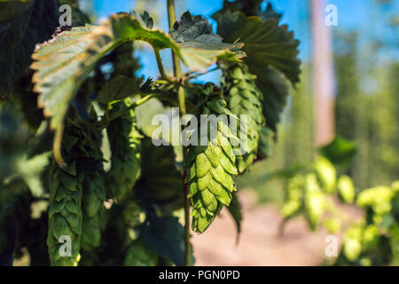 Fresh green hops in a field. Close-up - Stock Photo