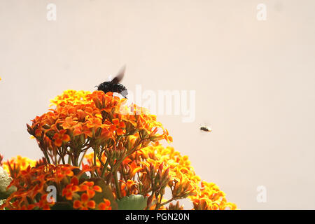 Bumble Bee on Kalanchoe Flower Orange Yellow - Stock Photo