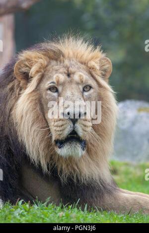Asiatic Lion, Asiatiskt lejon (Panthera leo persica) - Stock Photo