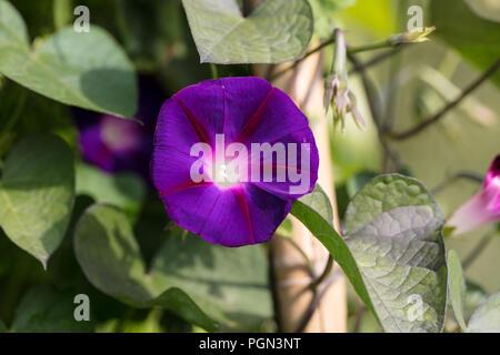 'Grandpa Ott's' Common Morning Glory, Purpurvinda (Ipomoea purpurea) - Stock Photo