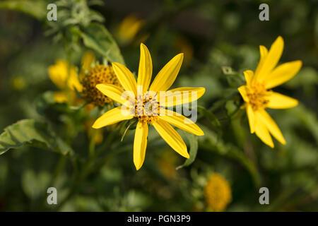 Jerusalem artichoke, Jordärtskocka (Helianthus tuberosus) - Stock Photo