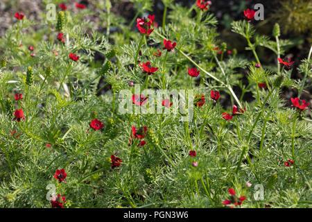 Autumn adonis, Gossen i det gröna (Adonis annua) - Stock Photo