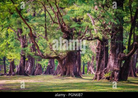 Evergreen Casuarina equisetifolia (Common ironwood) forest tree at Naiyang beach bearby Phuket airport, Thailand. - Stock Photo