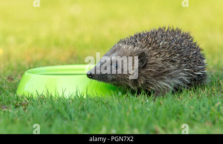 Hedgehog, wild, native, European hedgehog drinking water from a green bowl.  Errancies europaeus.  Horizontal. - Stock Photo