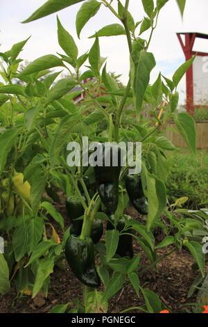 Poblano pepper plant, Capsicum annuum,  at Wagner Farm Community Garden in Glenview, Illinois, USA. - Stock Photo