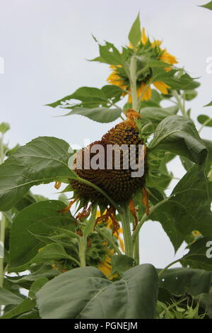 Giant sunflowers, helianthus annus, growing in the late summer at Wagner Farm Community Garden in Glenview, Illinois, USA. - Stock Photo