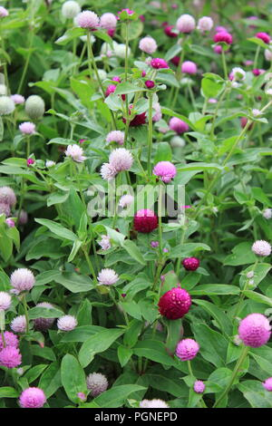 Purple, pinkish, and white clover and trefoil (Trifolium) at Wagner Farm Community Garden in Glenview, Illinois, USA. - Stock Photo