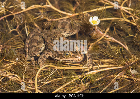 Spotted Frog Waiting for Lunch - Stock Photo