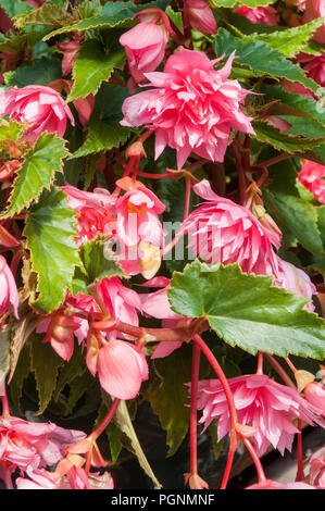 Pink Trailing Begonias in full flower that are ideal for baskets, window boxes, tubs etc. - Stock Photo