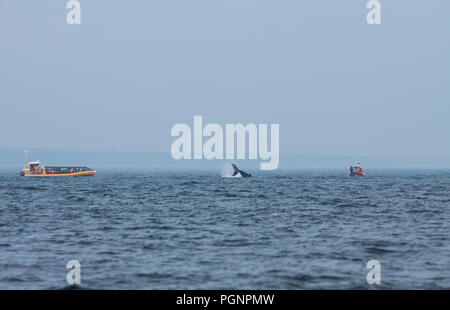 Whale watching in Tadoussac, Quebec. - Stock Photo