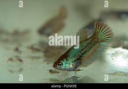 Feeding Baby Siamese Fighting Fish in the Aquarium with Frozen Baby Brine Shrimp - Stock Photo