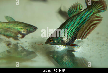 Feeding Baby Fighting Fish Betta Splendens Fishes in the Aquarium with Frozen Baby Brine Shrimp - Stock Photo