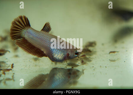 Feeding Baby Siamese Fighting Fish Betta Splendens in the Aquarium with Frozen Baby Brine Shrimp - Stock Photo
