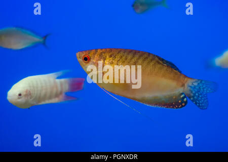 Gold Thick-lipped gourami. The thick-lipped gourami (Trichogaster labiosa) is a species of gourami native to Southeast Asia. - Stock Photo