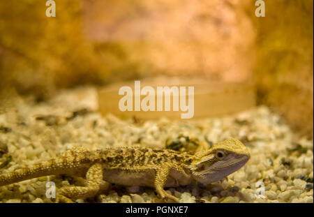 Bearded dragon close up, shallow dof  Pogona is a genus of