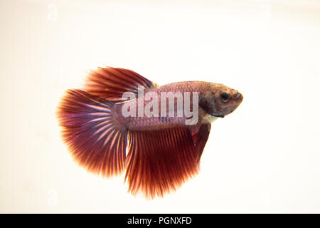 Siamese Fighting Fish Red Pink Halfmoon Betta Splendens. Bettas are also affected by the pH levels of the water. Ideal levels for Bettas would be at a - Stock Photo