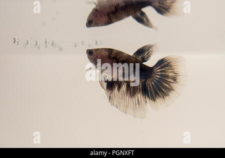 Siamese Fighting Fish Marble White Black Grey Halfmoon Betta Splendens with reflection. Aquarium specimens are widely known for their brilliant colour - Stock Photo