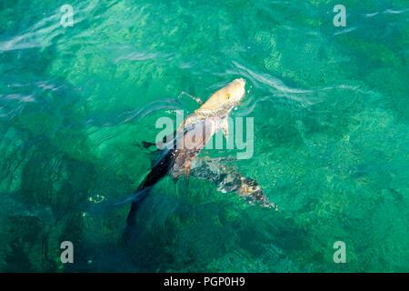 Spangled Emperor (Green Snapper) - Ningaloo Reef - Australia - Stock Photo