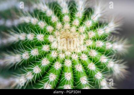 Cactus detail, top of cactus, close-up - Stock Photo