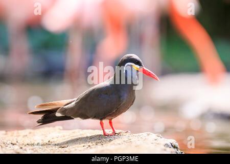 The Inca tern Larosterna inca bird has dark grey body, white moustache and red-orange beak and feet. Breeds on the coast of Peru, Chile and Equador So - Stock Photo