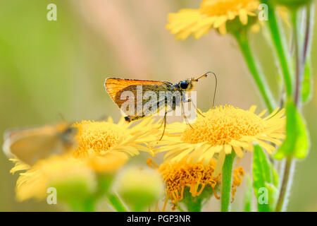 Essex skipper (Thymelicus lineola) pollinating and feeding on yellow flowers in a meadow during a sunny day - Stock Photo