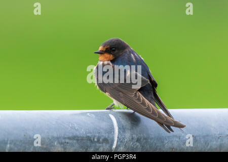 Closeup of a Barn Swallow (Hirundo rustica) resting after hunting on a fence. This is the most widespread species of swallow in the world and the nati - Stock Photo