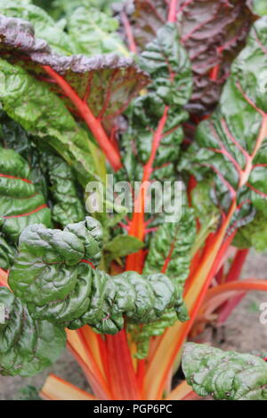Rhubarb, Rheum rhabarbarum, growing at the Wagner Farm Community Garden in Glenview, Illinois, USA. - Stock Photo