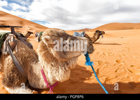 Morocco, Sahara Desert. Camels lying down resting on the sand dunes. Close up camel in the foreground. Copy space - Stock Photo
