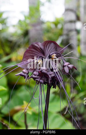 Bat Flower (Tacca integrifolia) is a flowering plant in the yam family, native to tropical and sub-tropical rainforests of Central Asia - Stock Photo