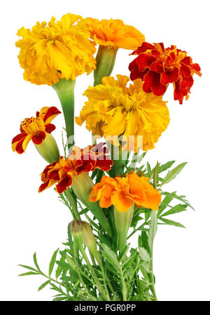 Small bush of blossoming real european  garden yellow and orandge marigolds flowers isolated macro studio shot - Stock Photo