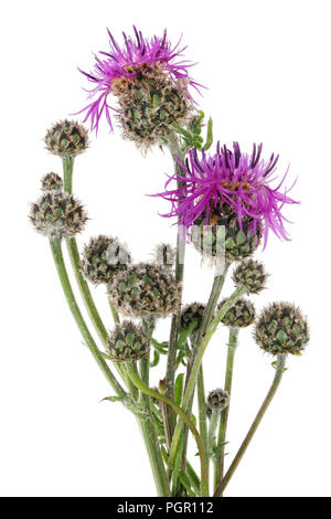 June is the time of flowering and ripening of the classic Scottish thistle plant. Isolated on white studio macro shot - Stock Photo