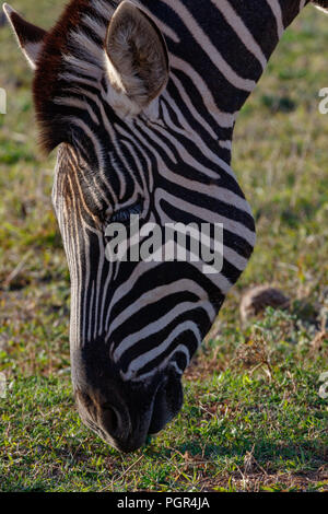 Close up of a Zebra bending down to eat grass in the field - Stock Photo