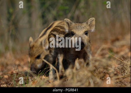 Wild boar piglets in the forest, spring, germany, (sus scrofa) - Stock Photo