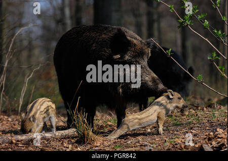 Wild boar female with piglets in the forest, spring, germany, (sus scrofa) - Stock Photo